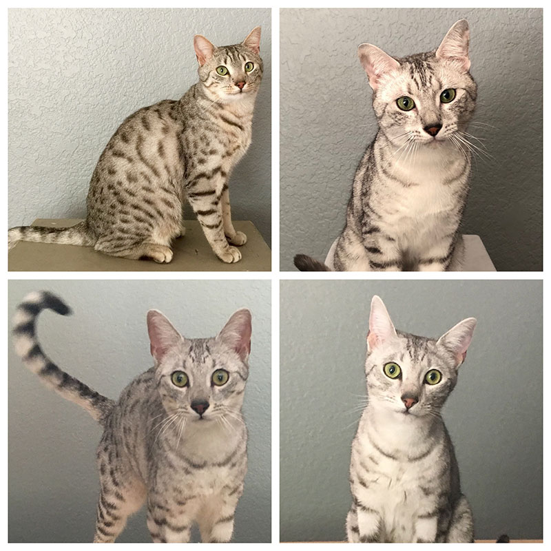 Egyptian Mau Team